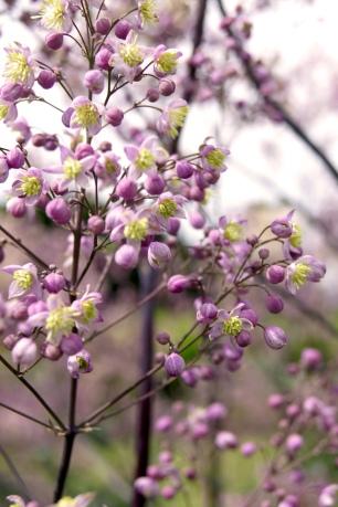 Thalictrum Hybride 'Elin' (Riesen-Wiesenraute)