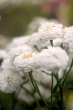 Achillea 'White Pearl' (Gefüllte Bertramsgarbe)