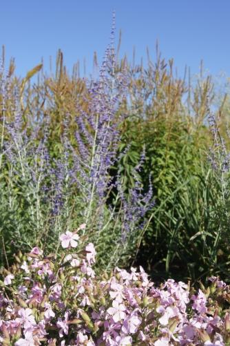 Saponaria 'Max Frei' und Perovskia atriplicifolia